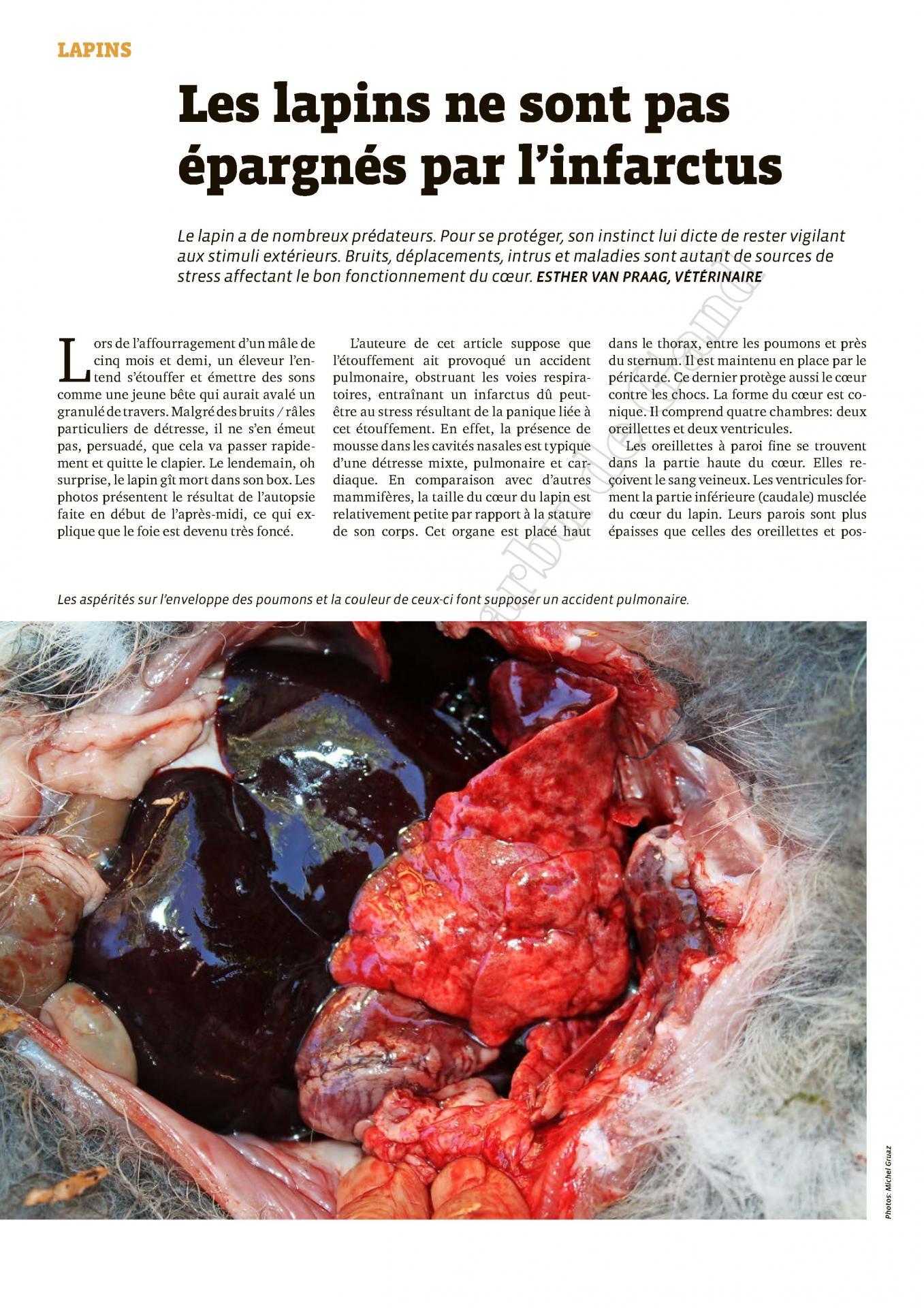 Les lapins ne sont pas epargnes par l infarctus 1