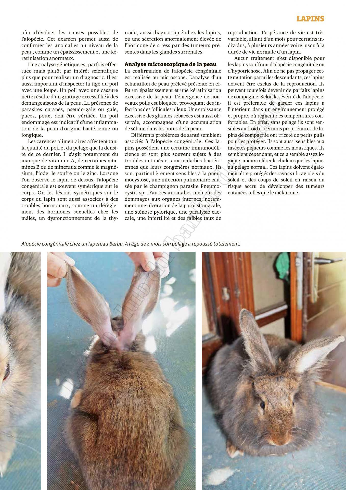 Un lapin sans pelage est un phenomene rare 2